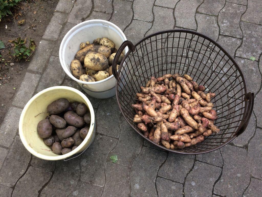 Kartoffelernte im Klostergarten