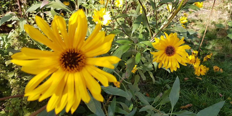 offener Klostergarten 2018-10 - gelbe Blume