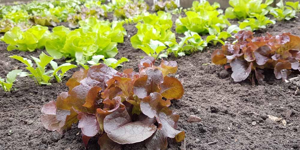 Salat im Frühbeet