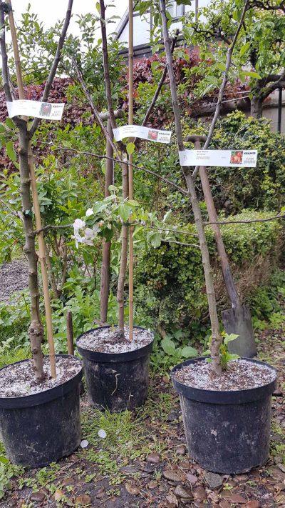 Pflanzung der Apfelbaueme bei Graupelschauer
