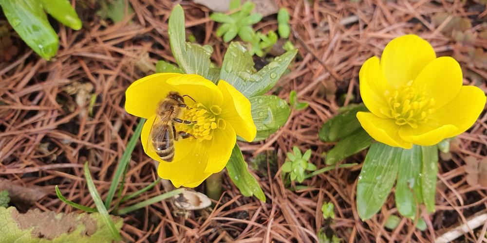 Bienen Winterlinge